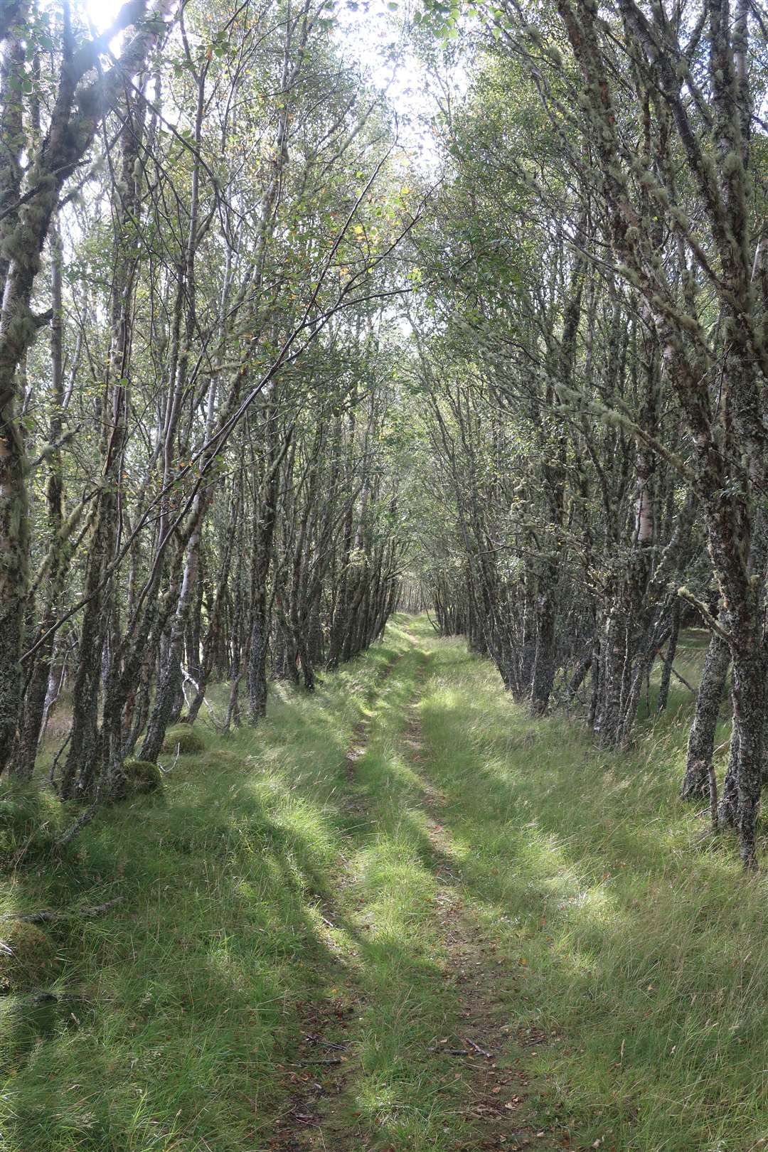 Through a lovely tunnel of birch trees on the way to Duntelchaig.